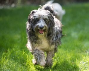 Scruffy grey dog