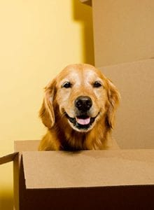 Golden Retreiver with boxes